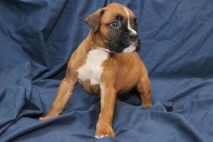 Northviewboxerscom Home Raised Pups Are The Best Pets