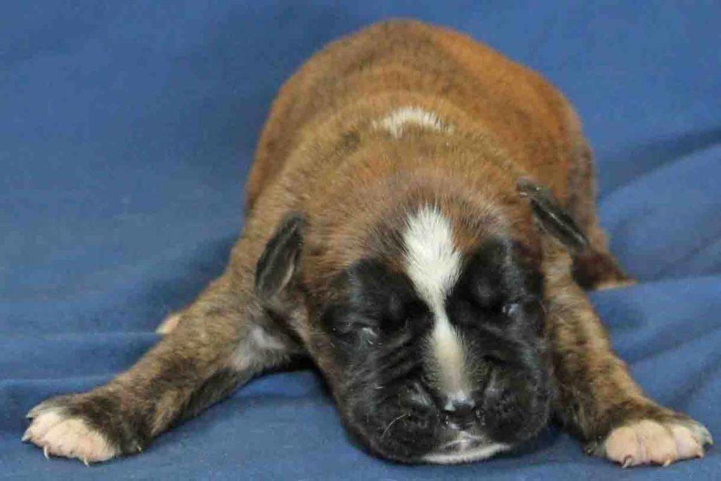 2 week old male brindle boxer puppy