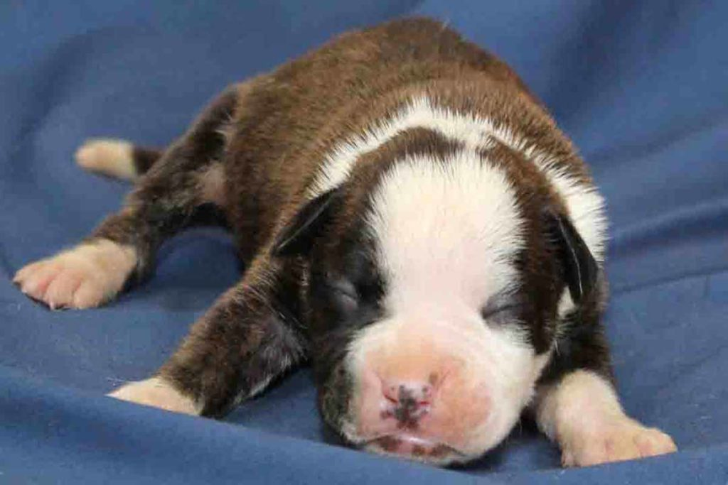 A very flashy brindle female Boxer puppy