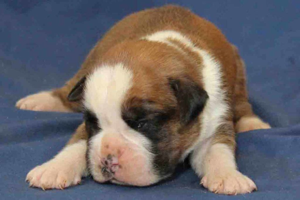 Infant male Boxer puppy with flashy fawn markings